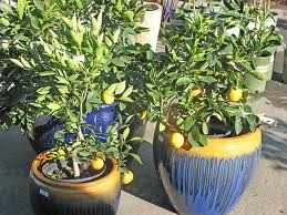 Citrus grown organically in containers